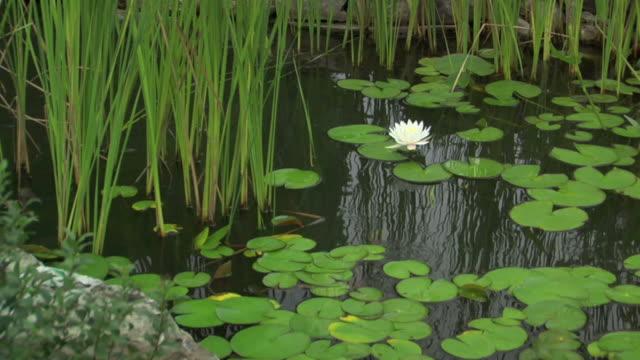 vidéos et rushes de lily pond dolly plan moyen - dépression terrestre