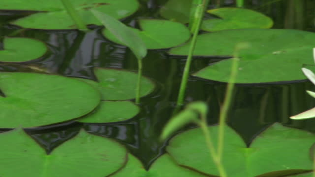 lily pond dolly tight shot - lily stock videos & royalty-free footage