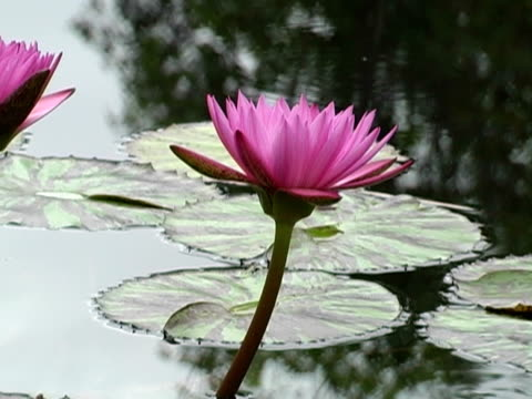 lily pond - standing water yard stock videos & royalty-free footage