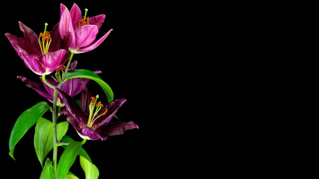 lily; time lapse - floral pattern stock videos and b-roll footage