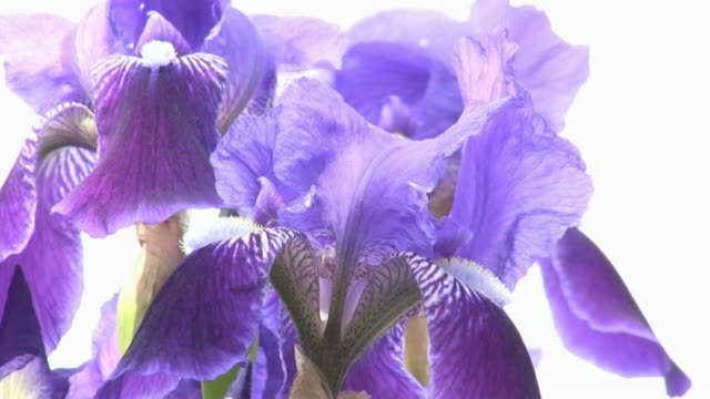 hd: lily - iris plant stock videos and b-roll footage
