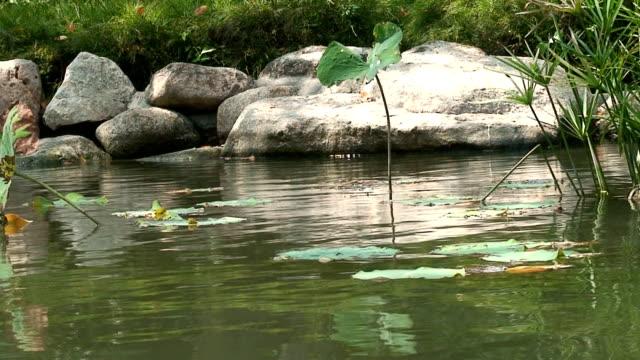 vídeos de stock e filmes b-roll de lírio - planta d'água