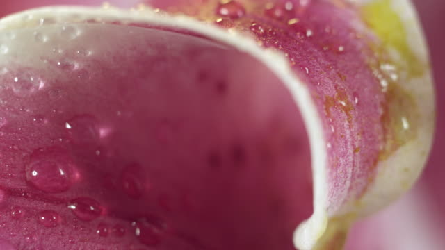 lily with water drops and pollen macro 2. - lily stock videos & royalty-free footage