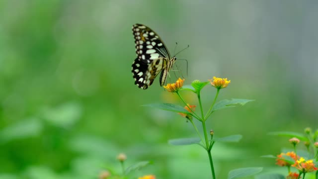 lime butterfly is feeding on west indian lantana flowers - lepidottero video stock e b–roll