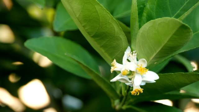 lime flower
