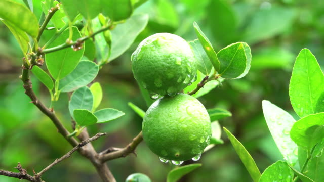 lime fruit on tree - lime stock videos & royalty-free footage