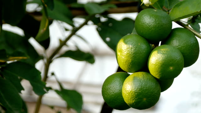Lime frukt vänta för skördas
