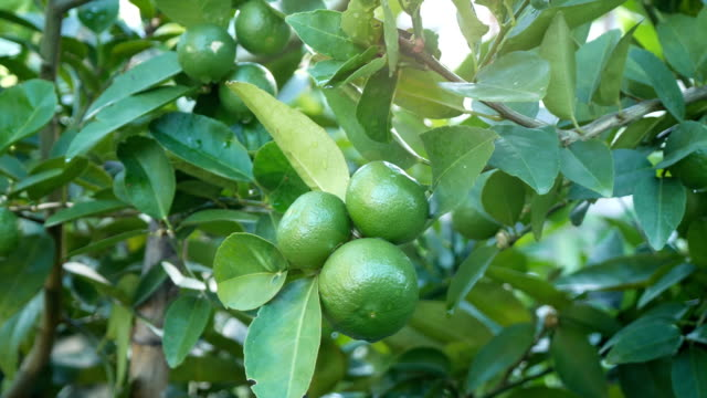 lime fruit wait for harvested