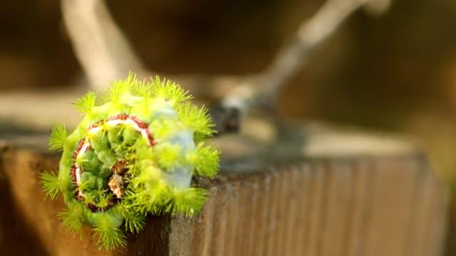 lindgrün io larve kriecht auf einem zaunpfahl - animal hair stock-videos und b-roll-filmmaterial