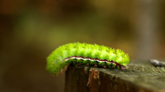 vídeos de stock, filmes e b-roll de larva de io verde limão rastejando num poste - larva