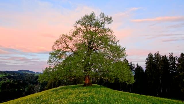 lime tree at sunrise in spring, allgau, bavaria, germany - groß stock-videos und b-roll-filmmaterial