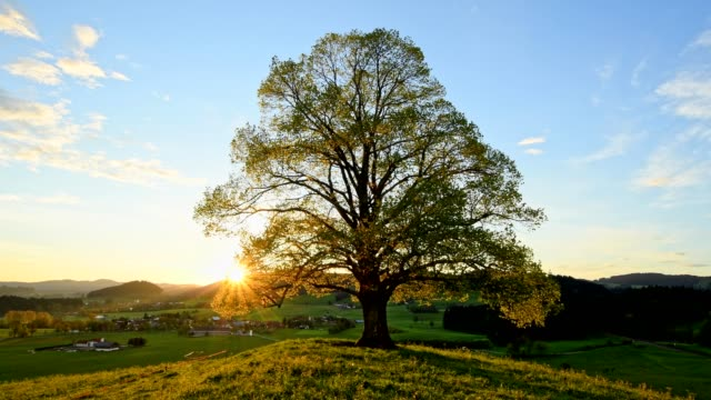 lime tree at sunrise in spring, allgau, bavaria, germany - central europe stock videos and b-roll footage