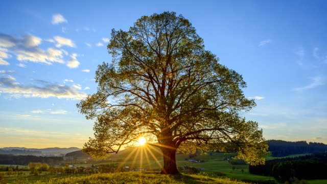 Lime tree at sunrise in spring, Bavaria, Germany