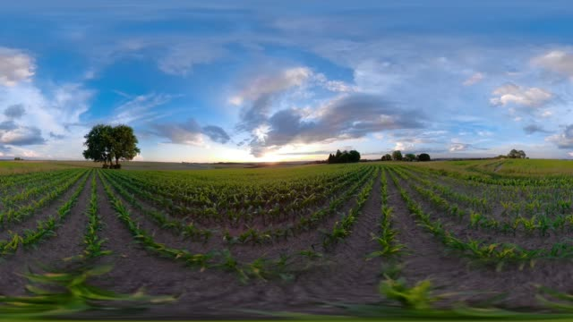 360 VR / Lime tree at sunset on field