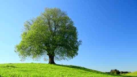 lime tree in spring, allgau, bavaria, germany - clear sky stock videos & royalty-free footage