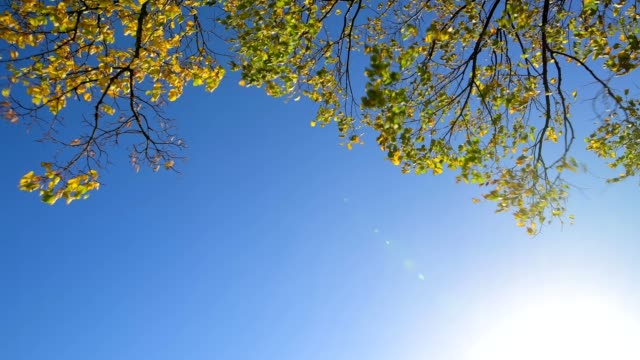 lime tree leaves against a blue sky with sun in autumn, leopoldsberg, lower austria, austria, europe - lower austria stock-videos und b-roll-filmmaterial