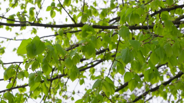 lime tree (tilia spec.) leaves with branches against sky. bavaria, germany. - ast pflanzenbestandteil stock-videos und b-roll-filmmaterial