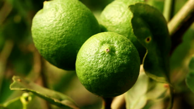 lime tree - tropical fruit stock videos & royalty-free footage