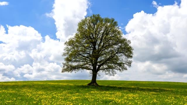 lime tree with dandelion meadow in spring, vogelsberg district, hesse, germany - single tree stock videos & royalty-free footage