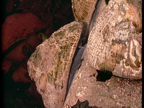 vídeos de stock, filmes e b-roll de limpets cling to a rock above a tidal pool. - gastrópode