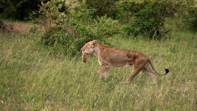 Limping Lioness Carrying Her Cub in Her Mouth