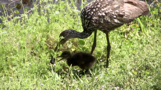 limpkin chick eating a snail - snail stock videos & royalty-free footage