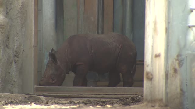 Lincoln Park Zoo introduced a baby Black Rhino named King to the public King joined his mother Kapuki in the zoo habitat King is the first Black...