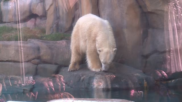 WGN Lincoln Park Zoo's new polar bear Siku made his public debut on Nov 17 2016 in Chicago
