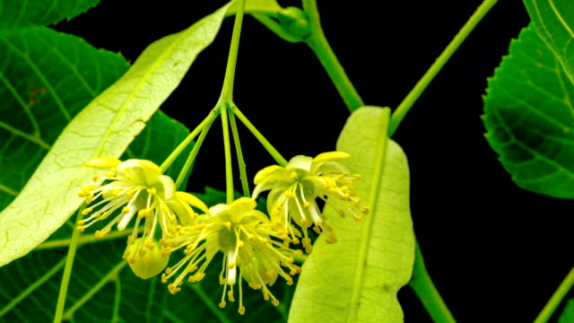linden tree blooming in time lapse video against black background - the ageing process stock videos & royalty-free footage
