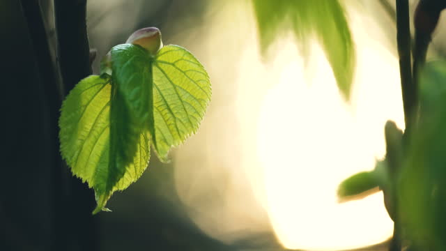 lindenbaumzweig mit jungen frischen grünen blättern - zweig stock-videos und b-roll-filmmaterial