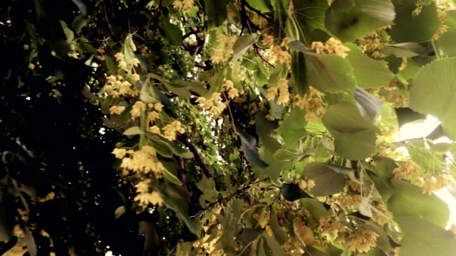 Linden tree with flowers