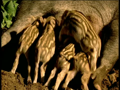 Line of baby camouflaged wild boar piglets suckle from sow