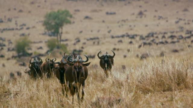 Line Of Blue Wildebeest Walking Maasai Mara  Kenya  Africa