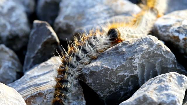 Reihe von Raupen lernen auf den Steinen