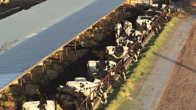 Line of Cows Feeding Through Fence in Farmyard - Drone Shot