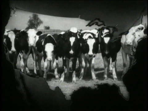 1940 ws line of cows standing and chewing on hay, framed with an outline of the united states - 数匹の動物点の映像素材/bロール