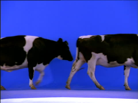 Line of cows walks across frame
