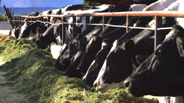 Line of Dairy Cows Eating from Pile of Hay