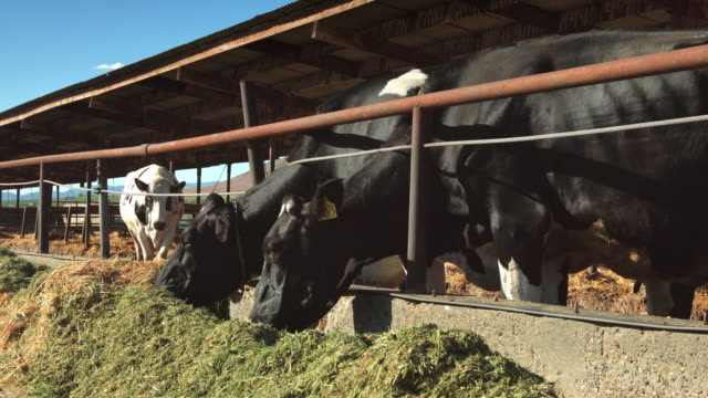 Line of Dairy Cows Eating from Trough