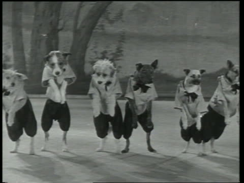 vídeos y material grabado en eventos de stock de b/w 1930 line of dogs in clothing dancing on stage + jumping up in air / dogway melody - 1930