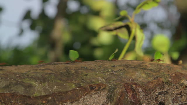 a line of leafcutter ants - leaf cutter ant stock videos & royalty-free footage