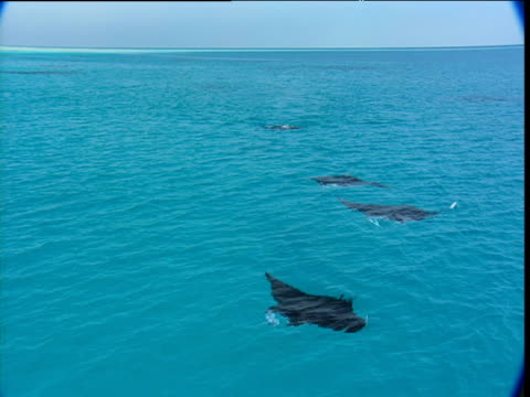 line of manta rays feed at the water surface - red sea stock videos & royalty-free footage