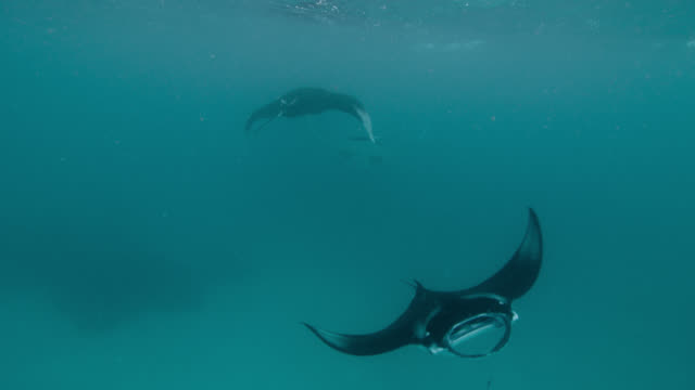 line of manta rays feeding, indian ocean. - in a row stock videos & royalty-free footage