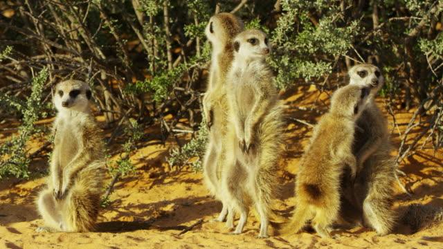 vidéos et rushes de cu line of meerkats standing and sunbathing with juvenile greeting adult - marron couleur