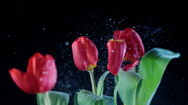 slo mo ld line of red tulips swaying when hit - group of objects stock videos and b-roll footage