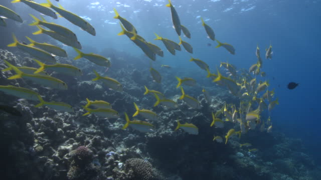 Line of School of Yellowfin goatfish (Mulloides vanicolensis) wide