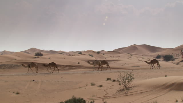 ws zi pan line of  seven camels walking  across desert landscape /  seven dunes,dubai - camel stock videos & royalty-free footage