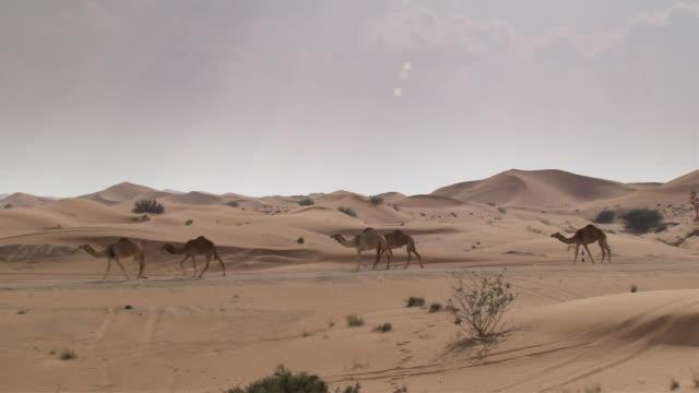 WS ZI PAN Line of  seven camels walking  across desert landscape /  Seven Dunes,Dubai