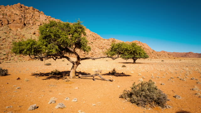 Linear and pan daytime timelapse of an Acacia Tree in a barren desert landscape with a rocky hill in the background as the shadows move across the frame