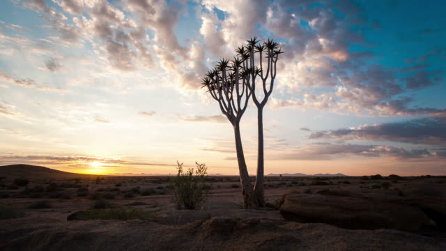 linear and pan timelapse of a young silhouetted quiver tree at sunrise against a dramatic sky with scattered clouds and sun flare as the landscape lights up - namibia desert stock videos and b-roll footage